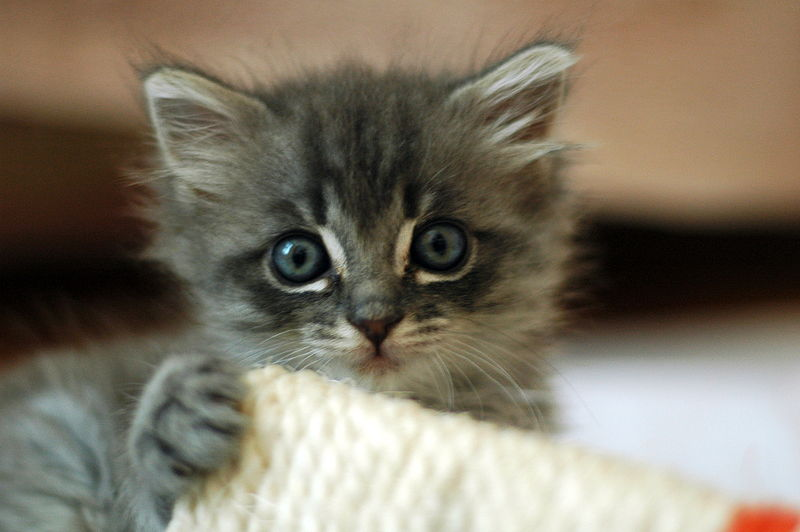 """""""Please Don't Point That Gun At Me. I Don't Even Like Cows."""" - Nevada Kitten Who Asked Not To Be Named"""