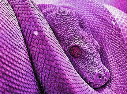 This snake isn't really purple. Yes, this photo is a big, fat lie.